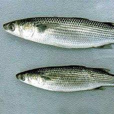 Kefal Balığı ısırma Tarifi