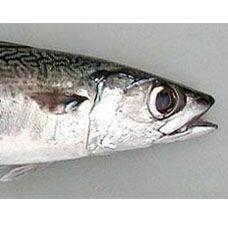 Tavada Kolyoz Balığı Tarifi