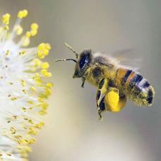 Arı Poleni ile Kanser Tedavisi