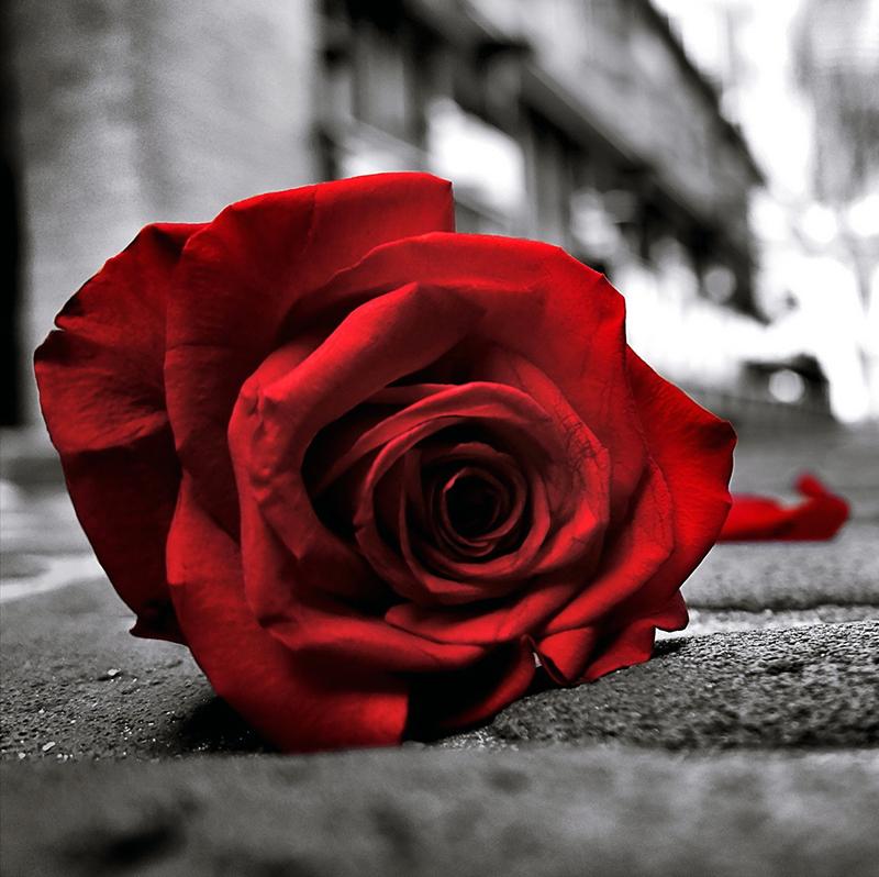 siyah beyaz renkli kırmızı gül